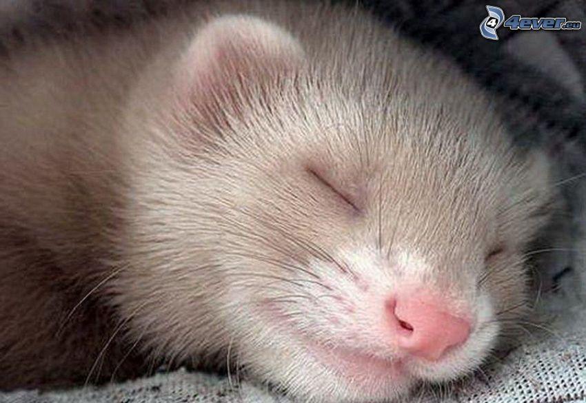 fretka, spánok