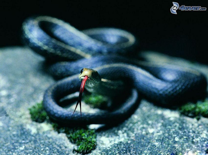 had, vyplazený jazyk