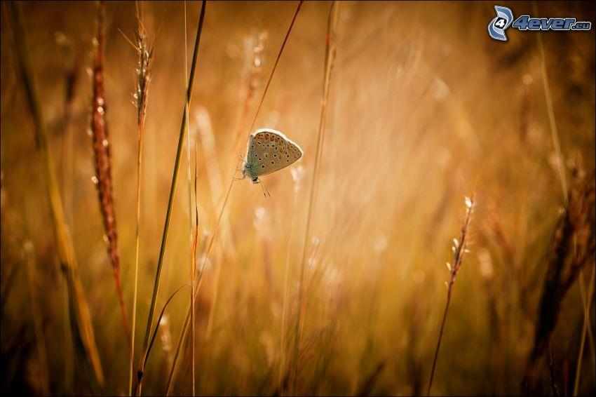 motýľ, vysoká tráva