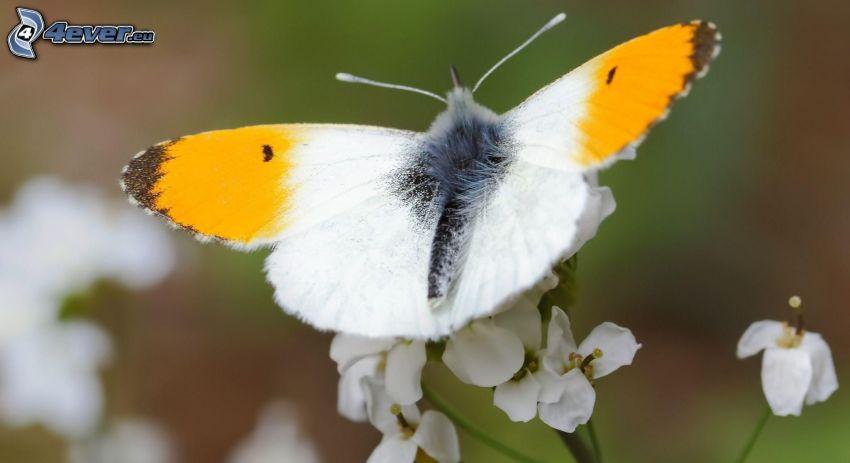 motýľ na kvete, biele kvety