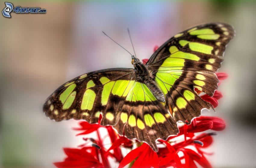 motýľ na kvete, červený kvet, makro