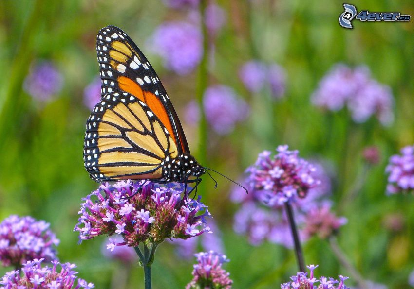 motýľ na kvete, fialové kvety