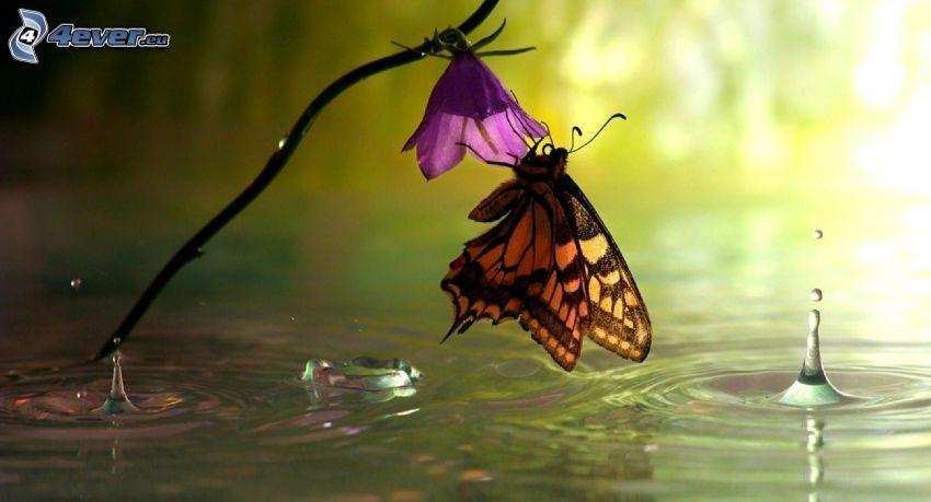 motýľ na kvete, fialový kvet, voda