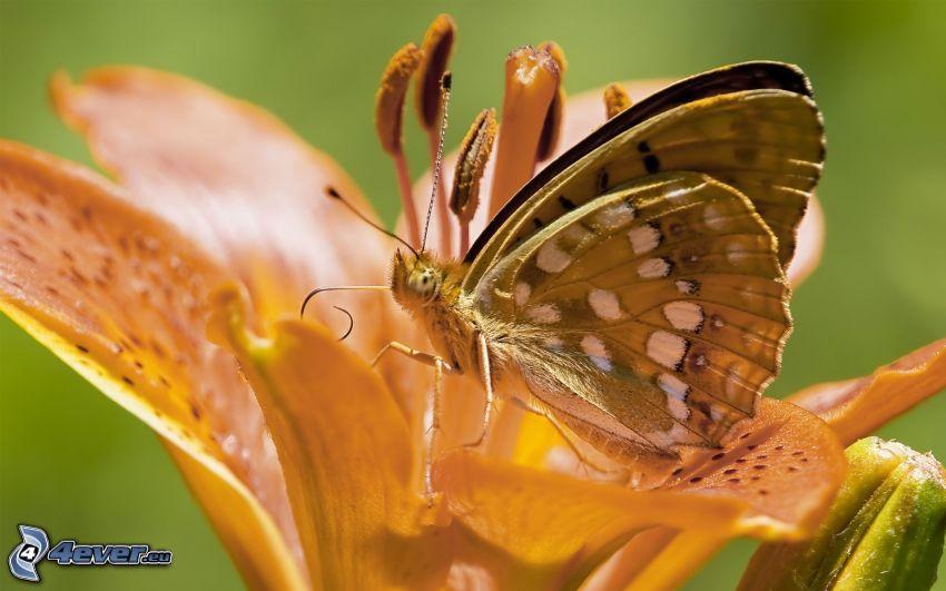 motýľ na kvete, makro