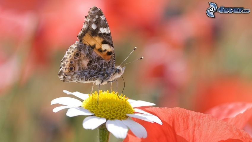 motýľ na kvete, margarétka