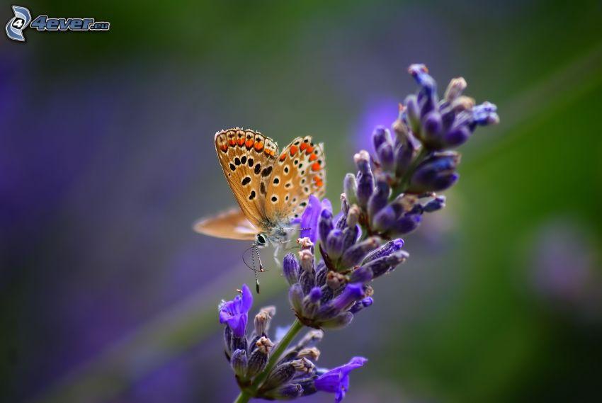 motýľ na kvete, modrý kvietok