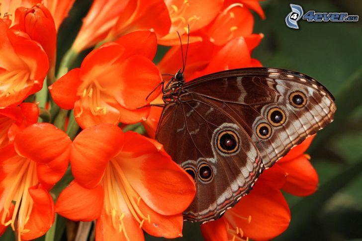 motýľ na kvete, oranžové kvety, makro