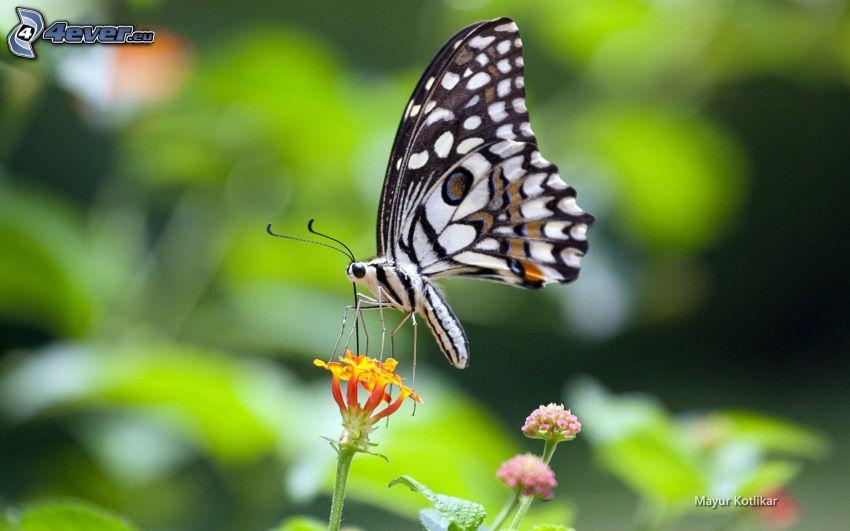motýľ na kvete, oranžový kvet