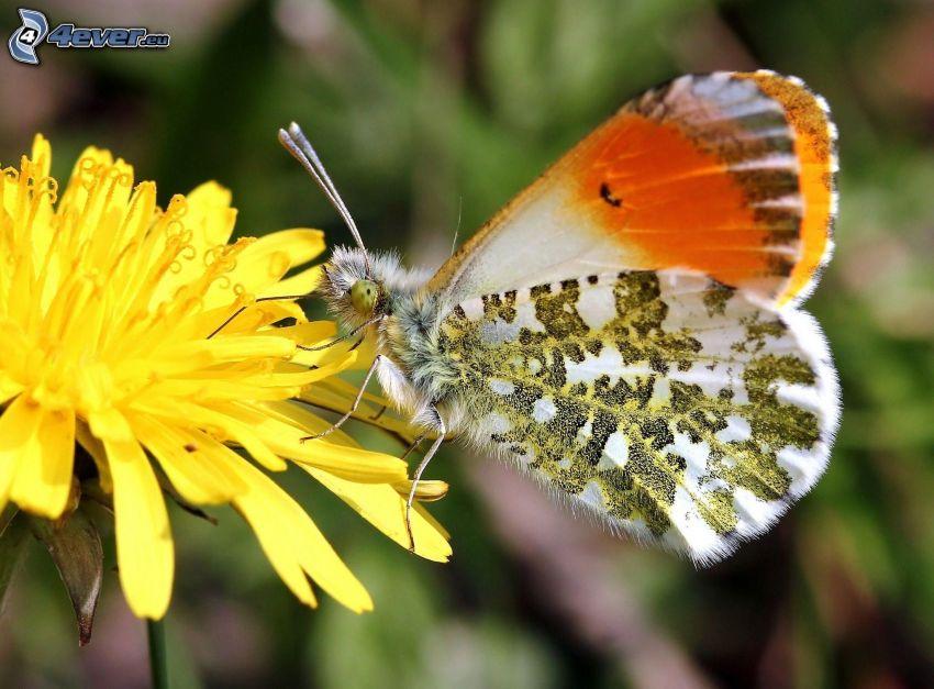motýľ na kvete, púpava, makro
