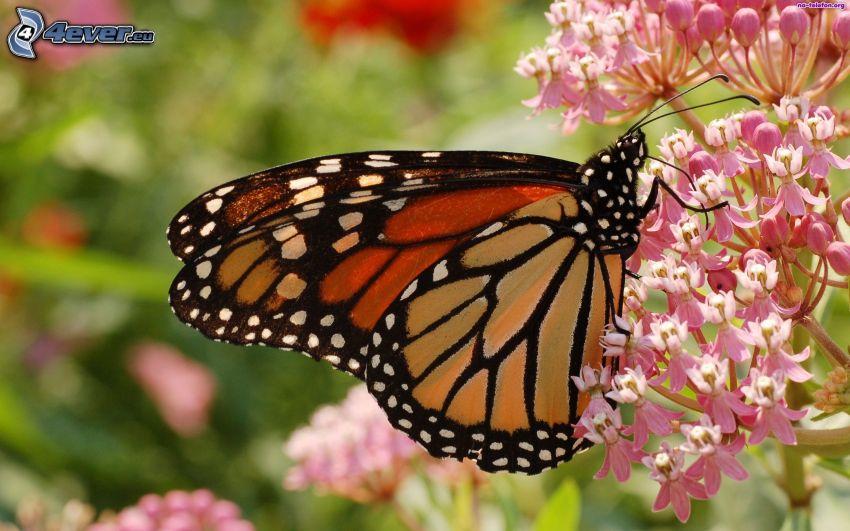 motýľ na kvete, ružové kvety