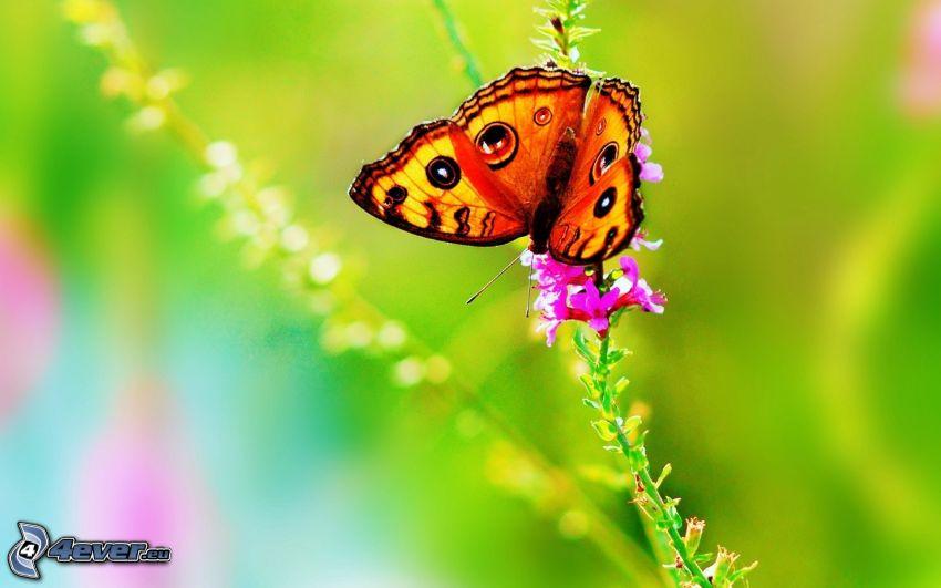 motýľ na kvete, ružový kvet