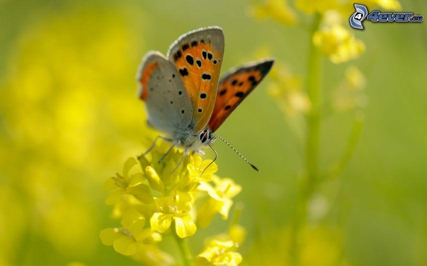 motýľ na kvete, žltý kvet, makro