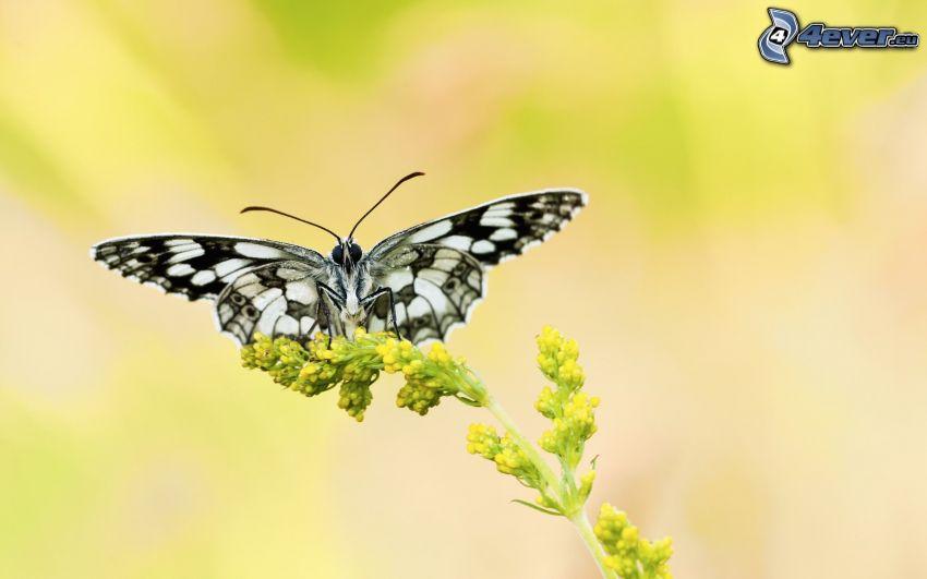 motýľ na kvete, žltý kvet