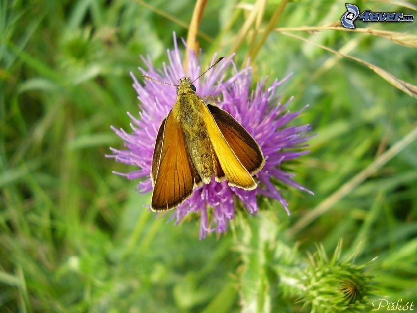 motýľ na kvete