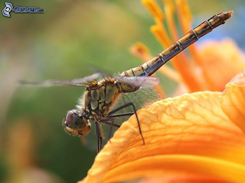 vážka, lupeň, oranžový kvet, makro