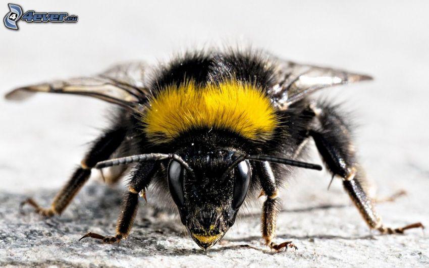 včela, makro
