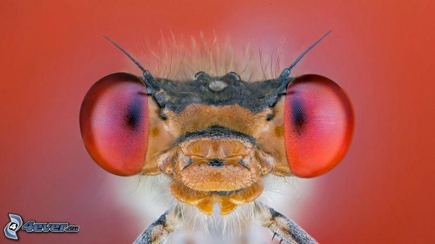 včela, oči, makro
