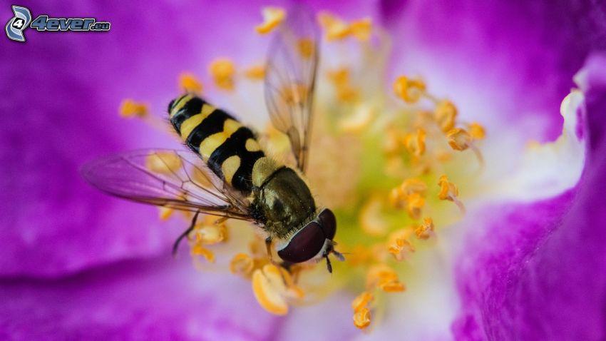 včela na kvete, fialový kvet, makro