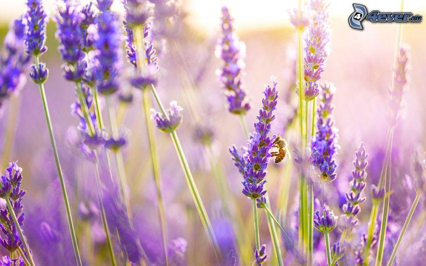 včela na kvete, levandule