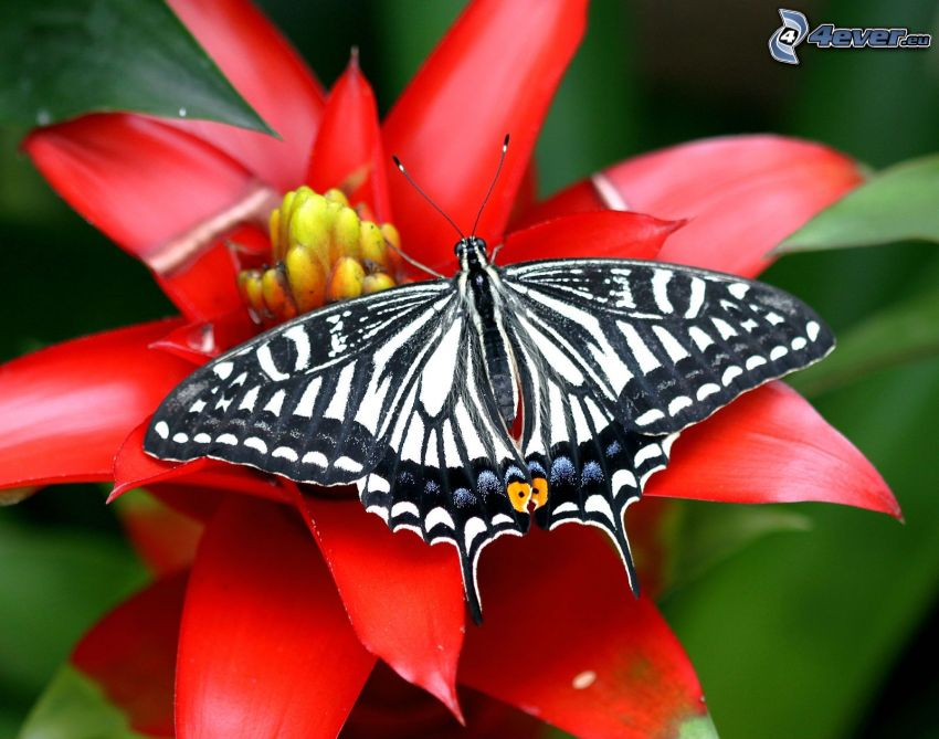 Vidlochvost, motýľ na kvete, červený kvet