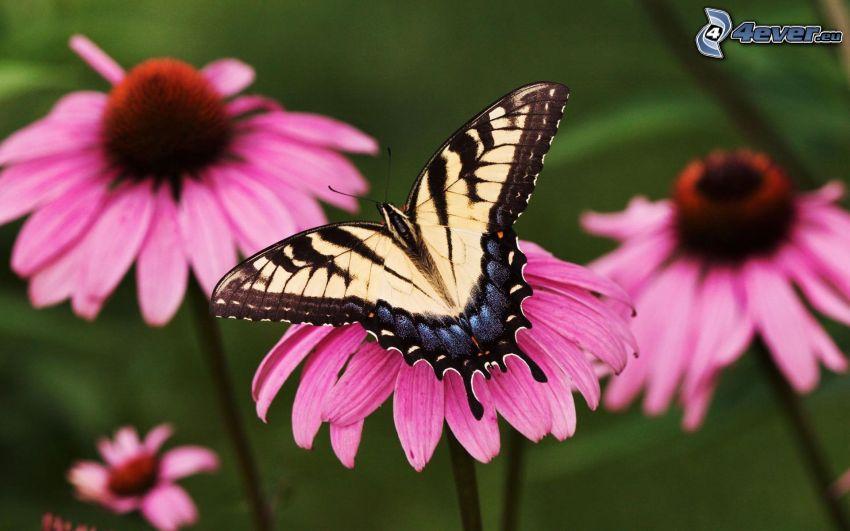 Vidlochvost, motýľ na kvete, ružové kvety