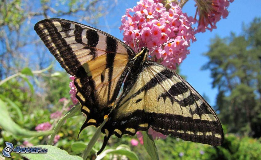 Vidlochvost, motýľ na kvete, ružový kvet