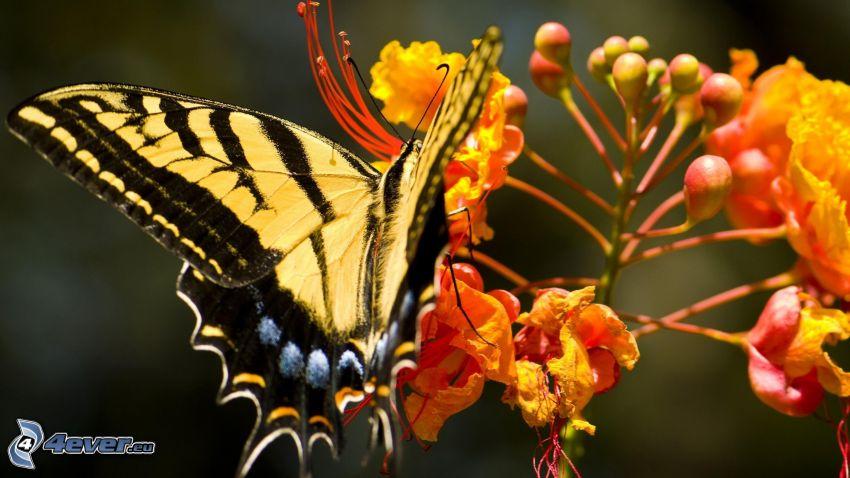 Vidlochvost, oranžový kvet, makro