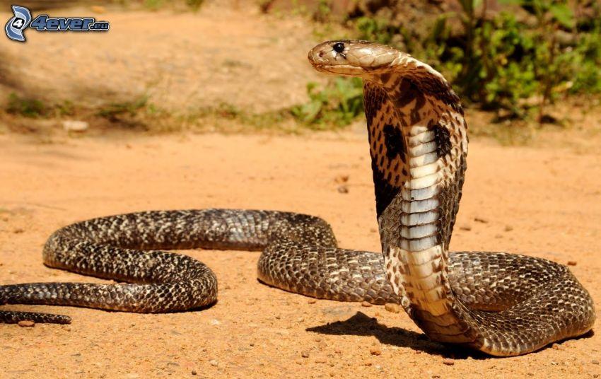 kobra, piesok, púšť