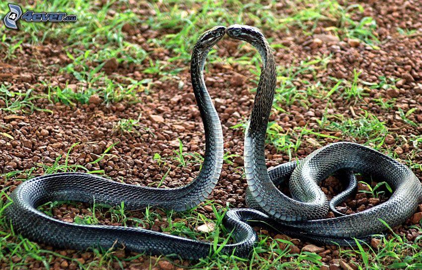 kobra, pusa