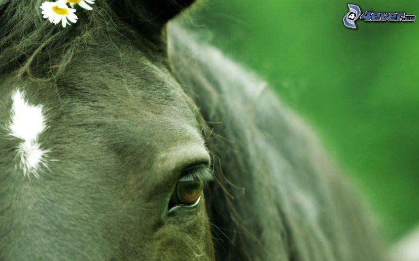 čierny kôň, oko koňa, sedmokrásky