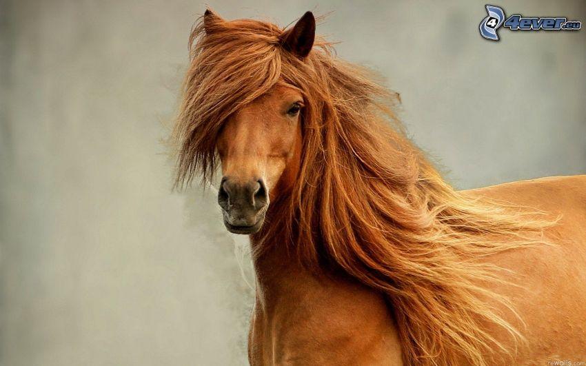 hnedý kôň, hriva