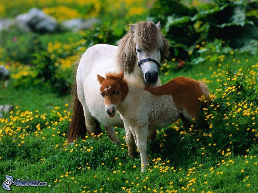 kone, poník, lúka