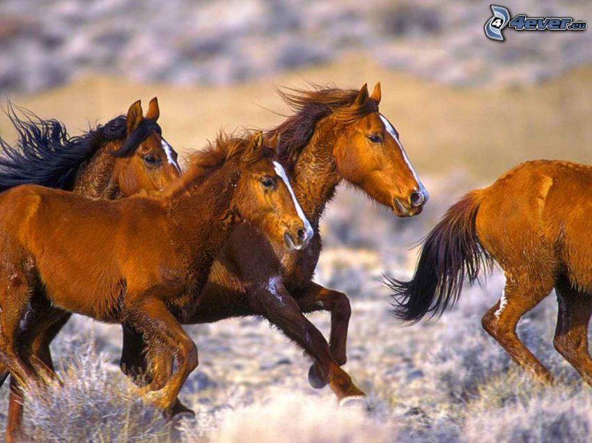 stádo koní, beh, cval