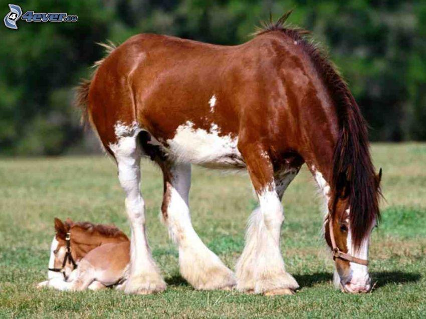 ťažný kôň, poník