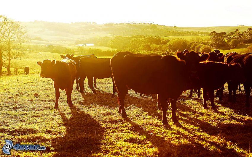 kravy, siluety, západ slnka
