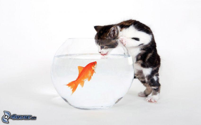 mačka, ryba, akvárium