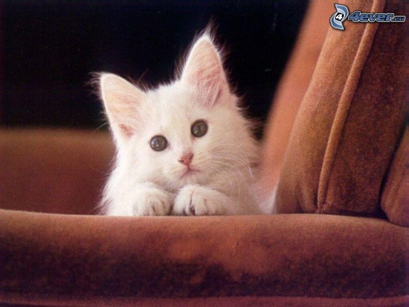 biela mačka, kreslo