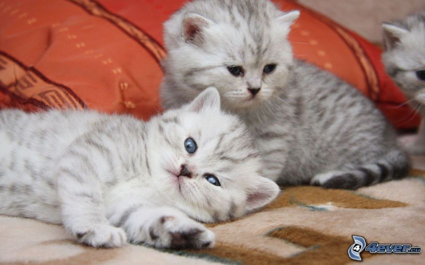 biele mačiatka