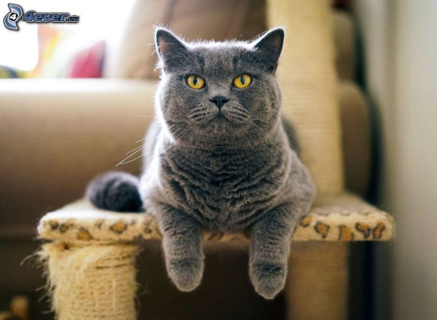 britská mačka