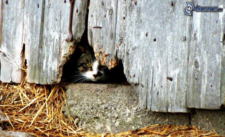 mačka, drevená stena, diera, seno