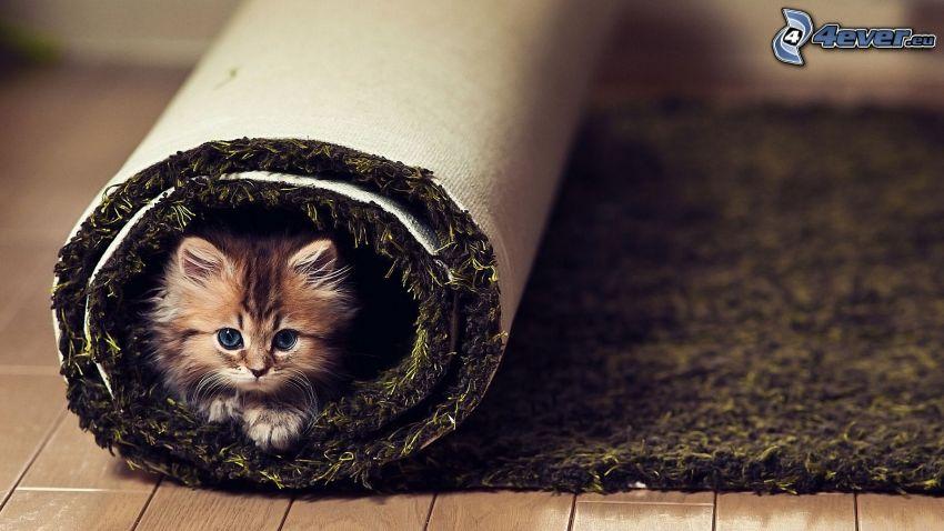 malé mačiatko, koberec