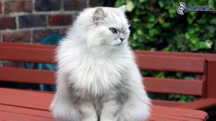 perzská mačka, biela mačka, lavička