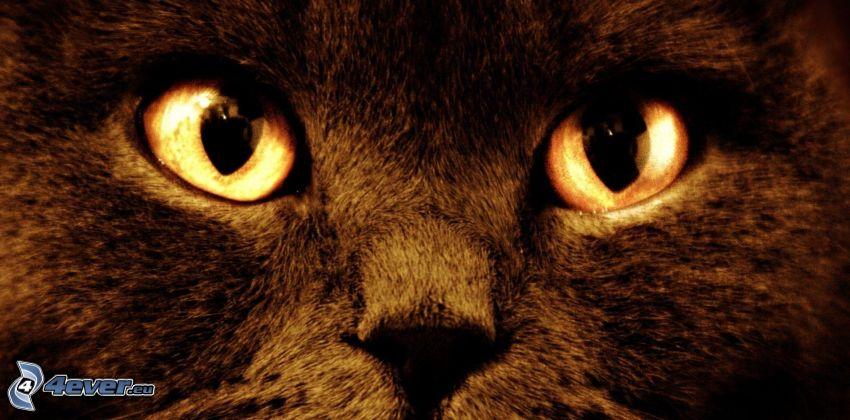 pohľad mačky, čierna mačka