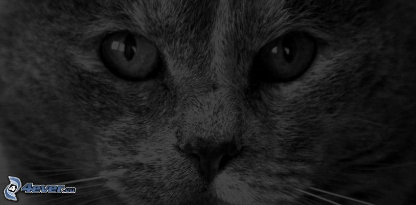 pohľad mačky, čiernobiela fotka