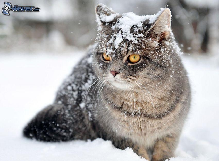 šedá mačka, sneh