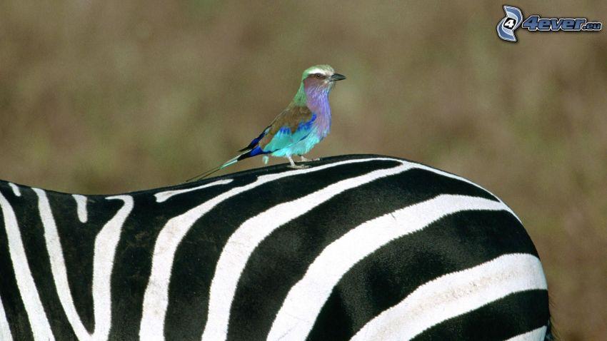 modrý vtáčik, zebra