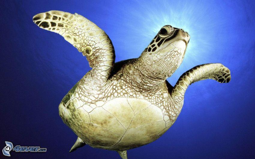 morská korytnačka