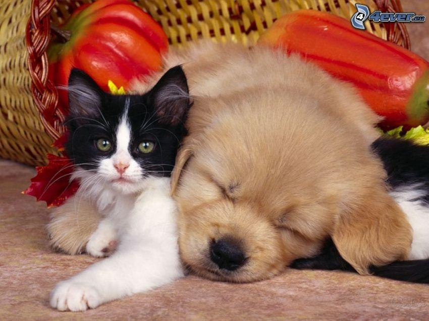 pes a mačka, košík, spánok