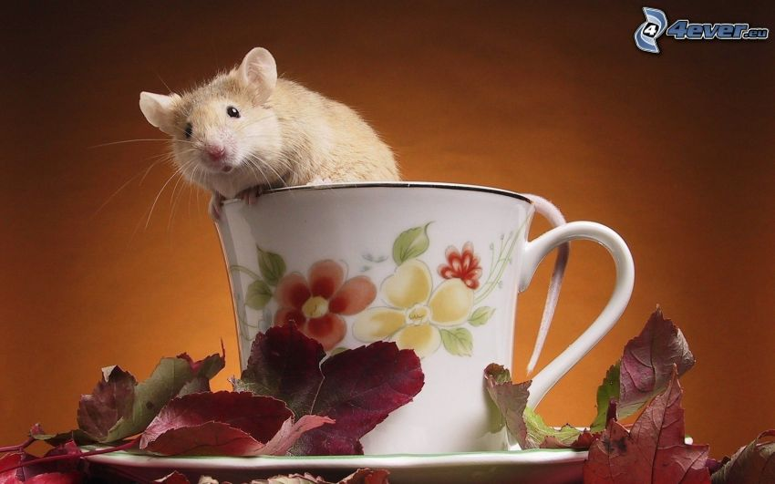 potkan, šálka, fialové listy