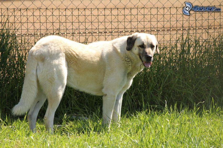 Anatolský pastiersky pes, vysoká tráva, plot